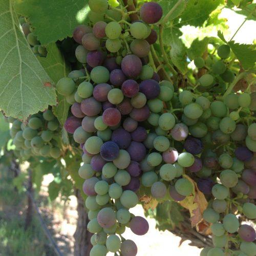 2 Farming C (3 of 3 photos) Six Hands Winery Vineyard verasion syrah grapes1